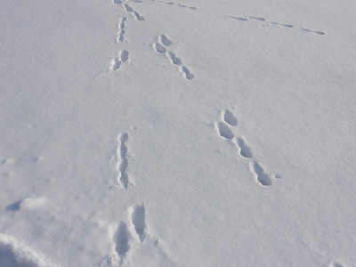 European Hare - tracks and trails
