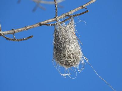 Baltimore Oriole - nest, originally built in June 2020