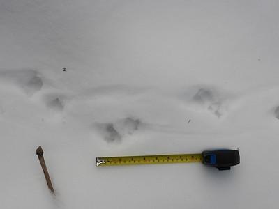 Virginia Opossum - tracks