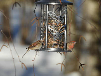 American Tree Sparrow & House Finch