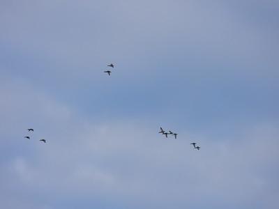 One of many flocks of flying Mallards