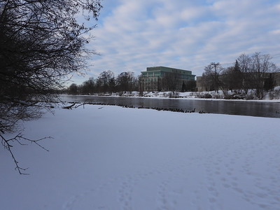Part of a large flock of mostly Mallards along Otonabee River