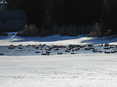 After the Bald Eagle had left, this noisy flock of Canada Geese kept a tight formation for another 20 minutes