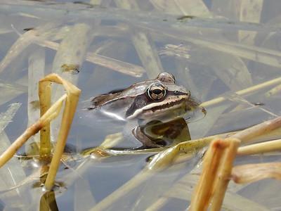 Wood Frog (Lithobates sylvaticus)