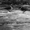 Gray Jays (Perisoreus canadensis) scavenging on the ground. Stevens Pass, Washington