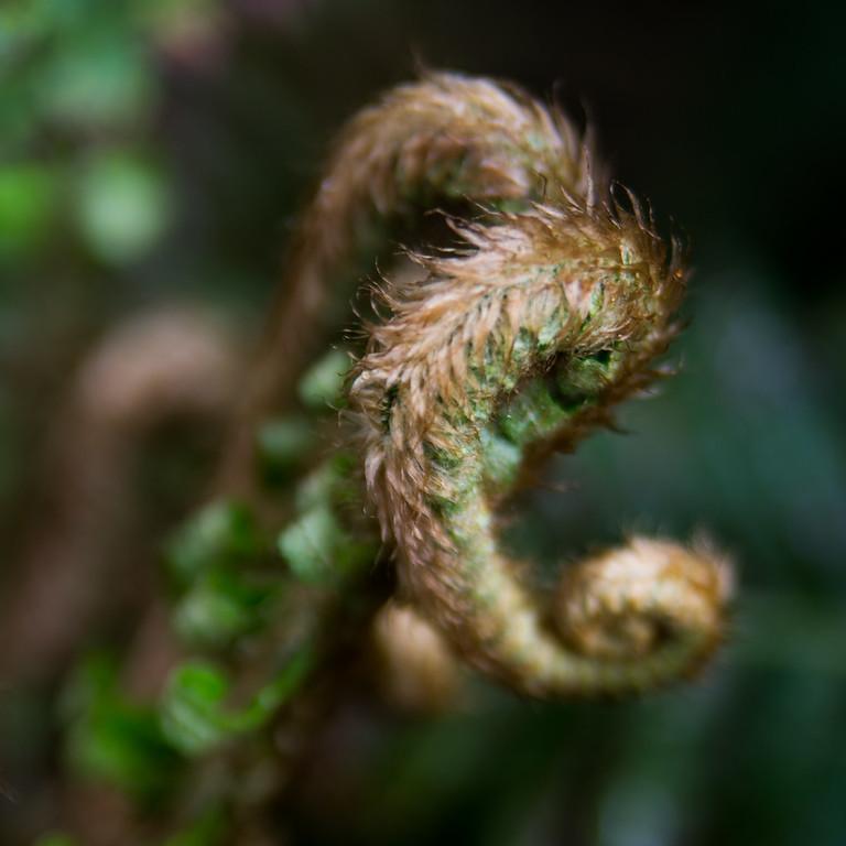 Natural Fiddlehead