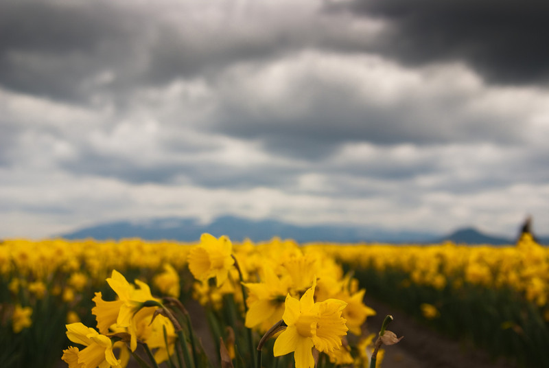 Cloudy with a Chance of Daffodils