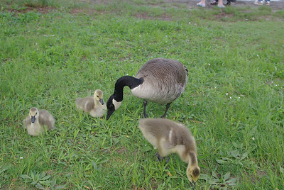 ... and a goose family