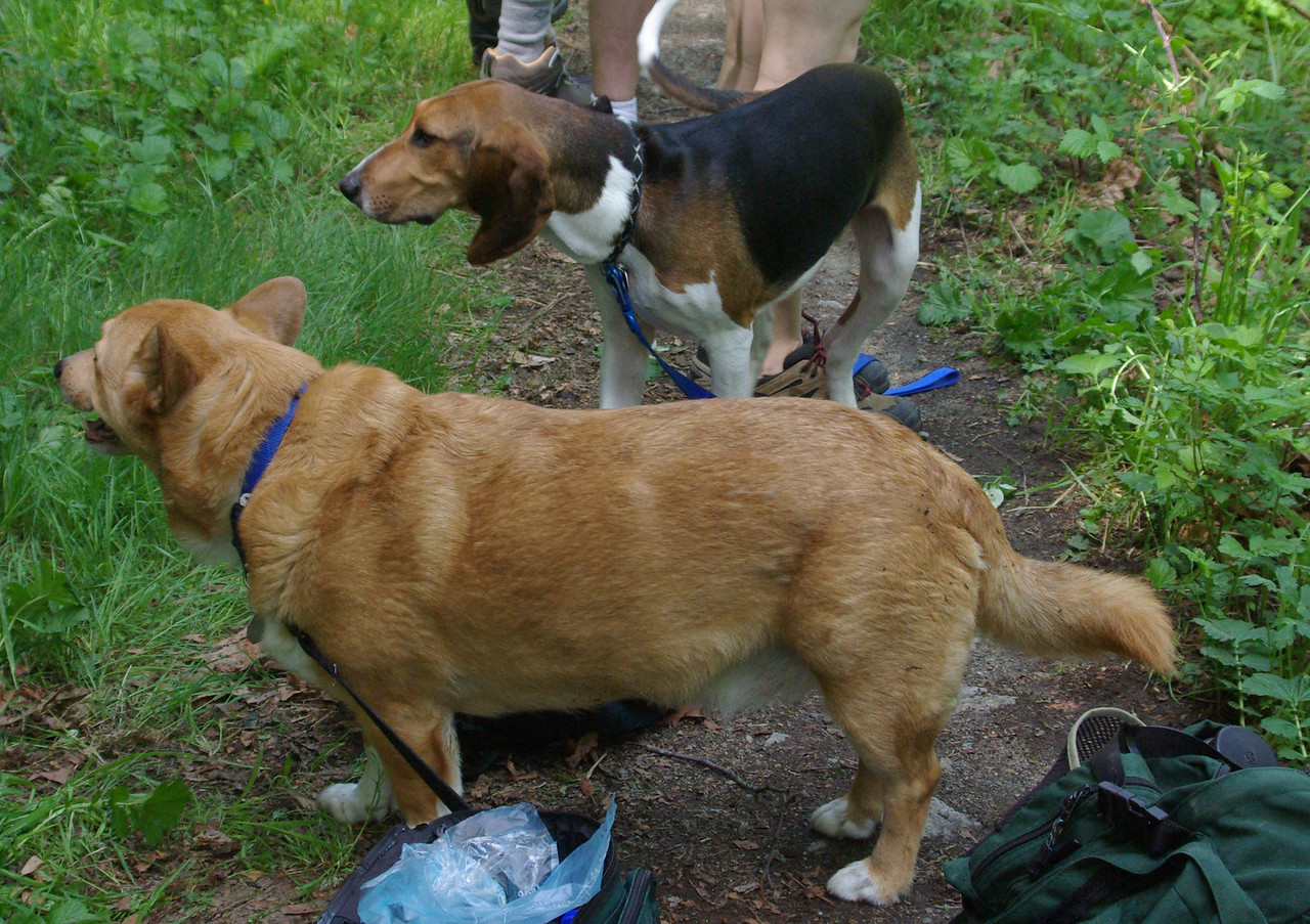 hiker dogs - Timber (above) and Frodo (closest) Frodo is tired!