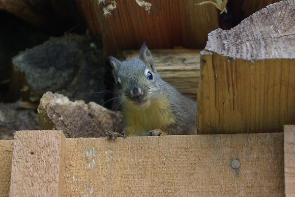 Curious baby pine squirel in the cabin woodshed