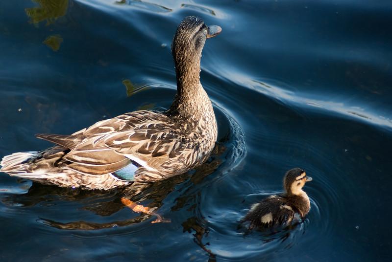 Mallard Duck mommy and duckling. Greenlake, Seattle, Washington.