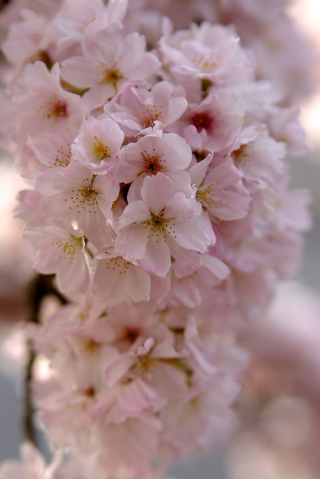 Blossomfall