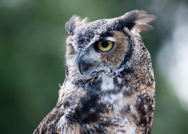 Daily 09/16/10. Bob the Great Horned Owl at the Woodland Park Zoo, Seattle WA.