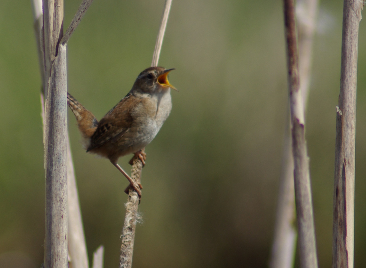 Daily 05/03/2010 Marsh Wren, not happy with our presence.