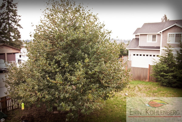 Theme: what matters to me  focus: my home  The back yard. not much time to garden, but this holly tree feeds all kinds of birds all winter, and i think other critters live in it at various times of the year.
