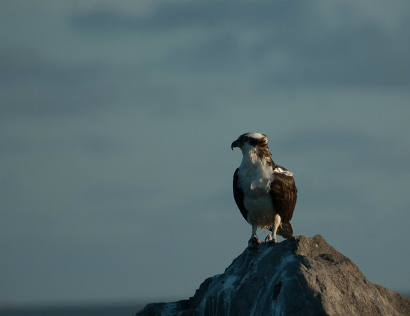 Osprey Waiting