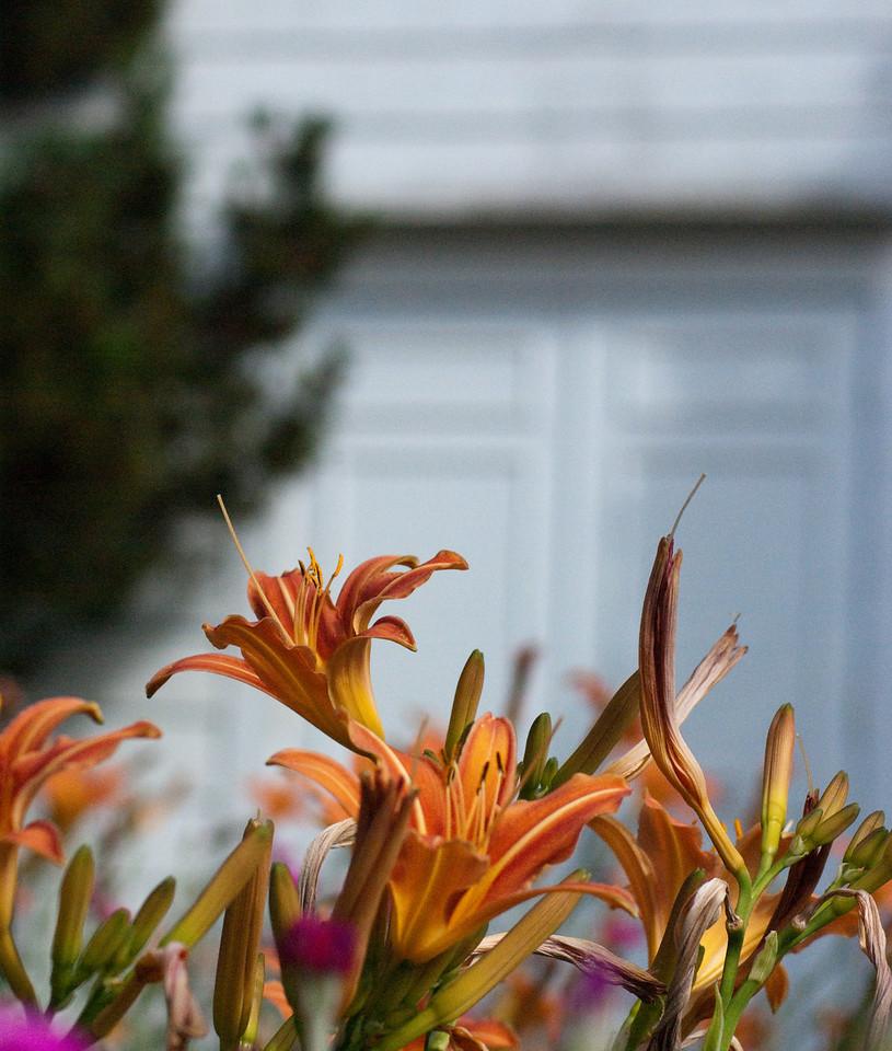 Church Lilies
