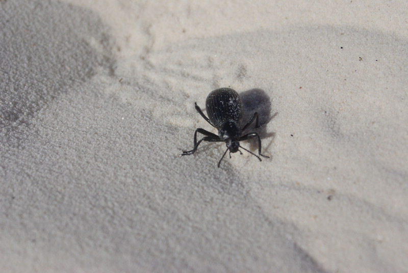 beetle on the White Sands.  New Mexico. April 2009