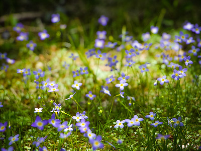 Bluets at Grayson Highlands State Park