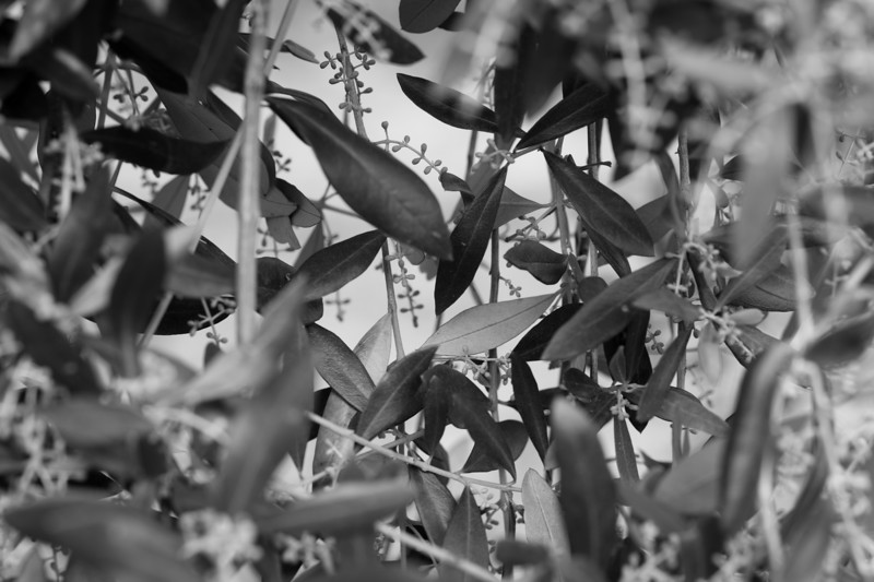 Olive tree in detail