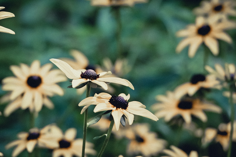 Black-eyed Susans in Fern Valley at the National Arboretum