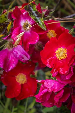 Bainbridge Island roses