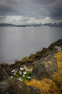 Morning glories on the west Seattle shore