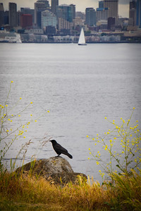 Crow on the West Seattle shore