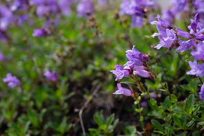 Purple penstemon by the roadside in June
