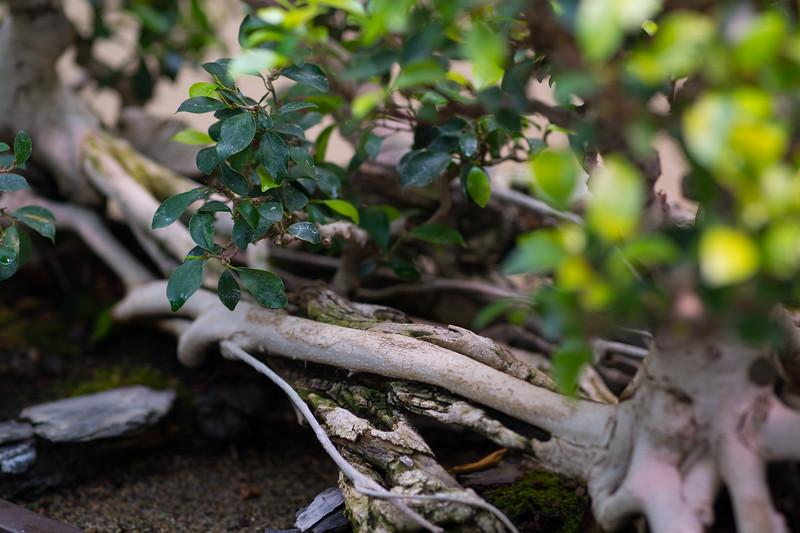 Pacific Bonsai Museum, April 2019