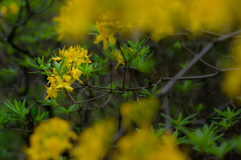 Rhododendron Species Garden, Federal Way, WA, April 2019