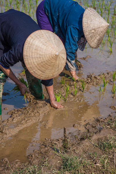 Rice field, Southeast Asia