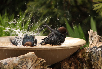 Cow birds bathing