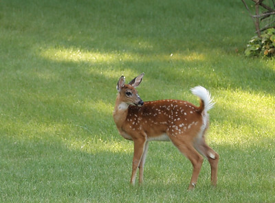 Young deer-still has spots