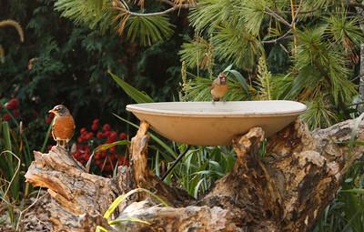 Robin and female Cardinal