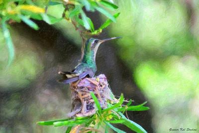 Southwestern Hummingbird