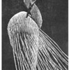 """Preening Egret""<br /> Wood Engraving 4""x6""<br /> edition of 15, 2010<br /> first prize graphics, Cape Cod Art Assn 8/10"