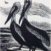 """Brown Pelicans"""