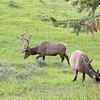 Two Bull Elks