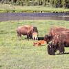 Amerian Bison