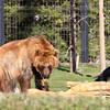 Grizzly Bear & Raven