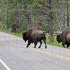 Bison on Grand Loop Road