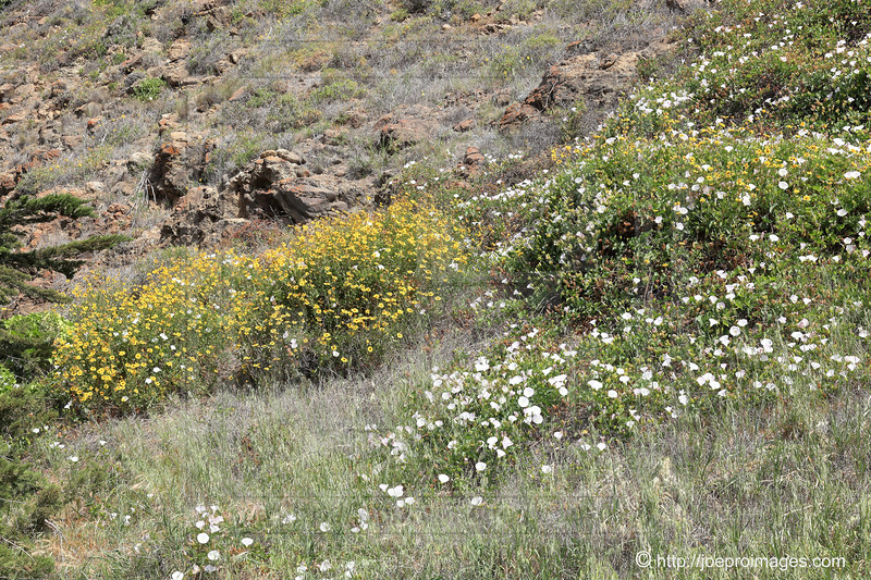 Santa Cruz Island Wildflowers