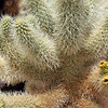 Cholla Cactus Spines and Buds in Cholla Cactus Garden