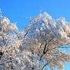 Snow in Tree Tops