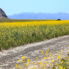 Yellow Mustard Flowers along Potato Harbor Road, Santa Cruz Island