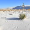 Gypsum Sand and Yucca Plant