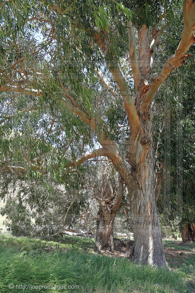 Eucalyptus Trees in Scorpion Ranch, Santa Cruz Island