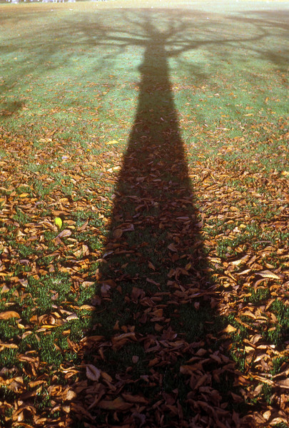 Shadow of a lime tree in fall