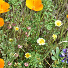 Poppies and tidy-tips